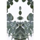 Eukalyptus 2