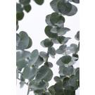 Eukalyptus 3