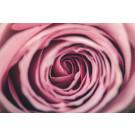 Rose Rosa 2